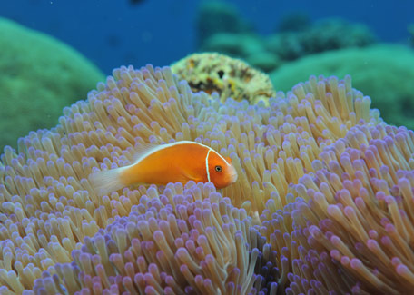 Clown fish in diving in New Caledonia