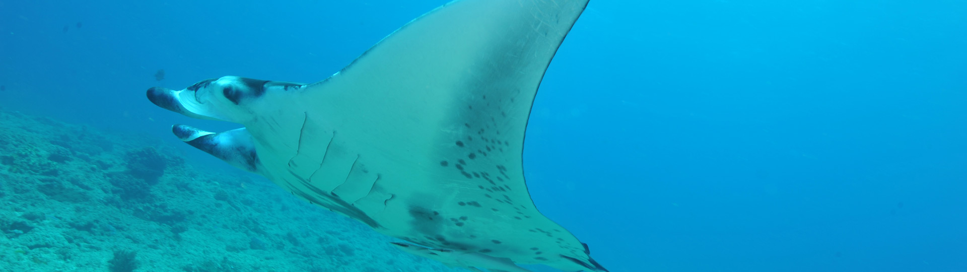 Manta ray in Boulari, New Caledonia