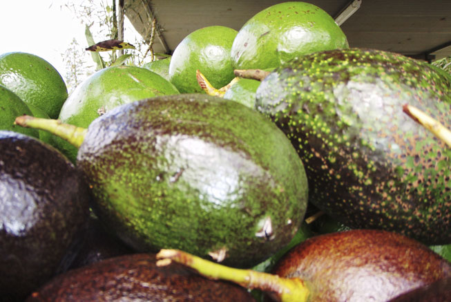 The Avocado in the Loyalty Islands