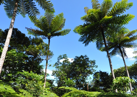 Sublime and historic arborescent ferns
