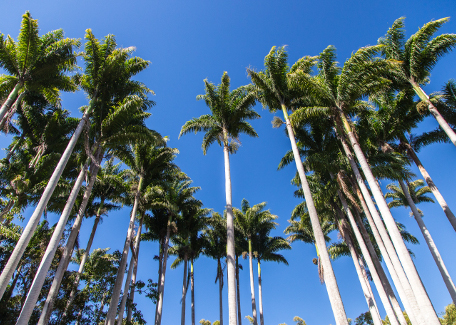 Over 1500 royal palms in Moindou!