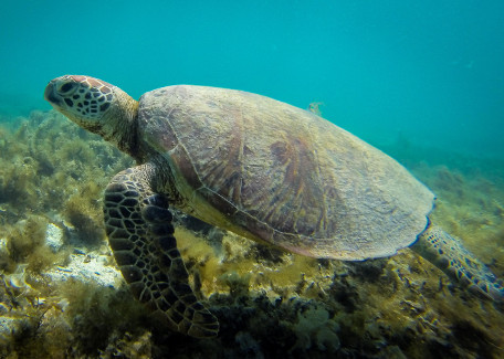 turtle in new caledonia