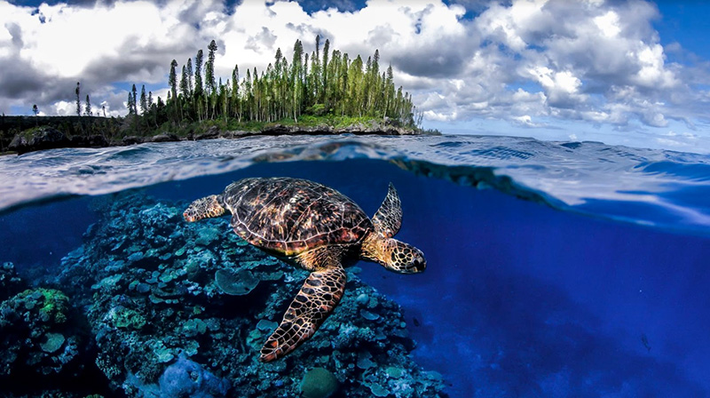 Turtle, Isle of Pines, New Caledonia