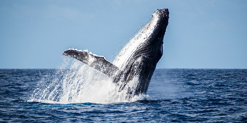 Whalewatching in New Caledonia